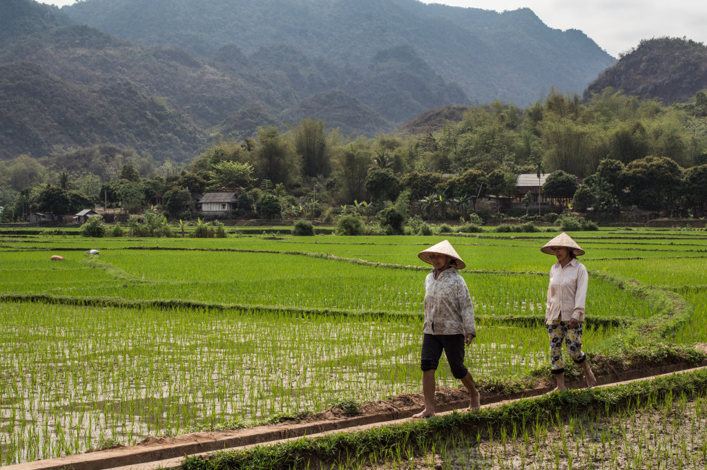 workers in the rice fields of mail chau
